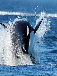 Orca Wallpapers Hd Free Samsung Galaxy S3 App Download