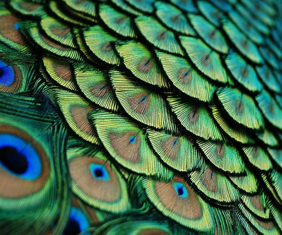 Peacock Wallpapers For Mobile