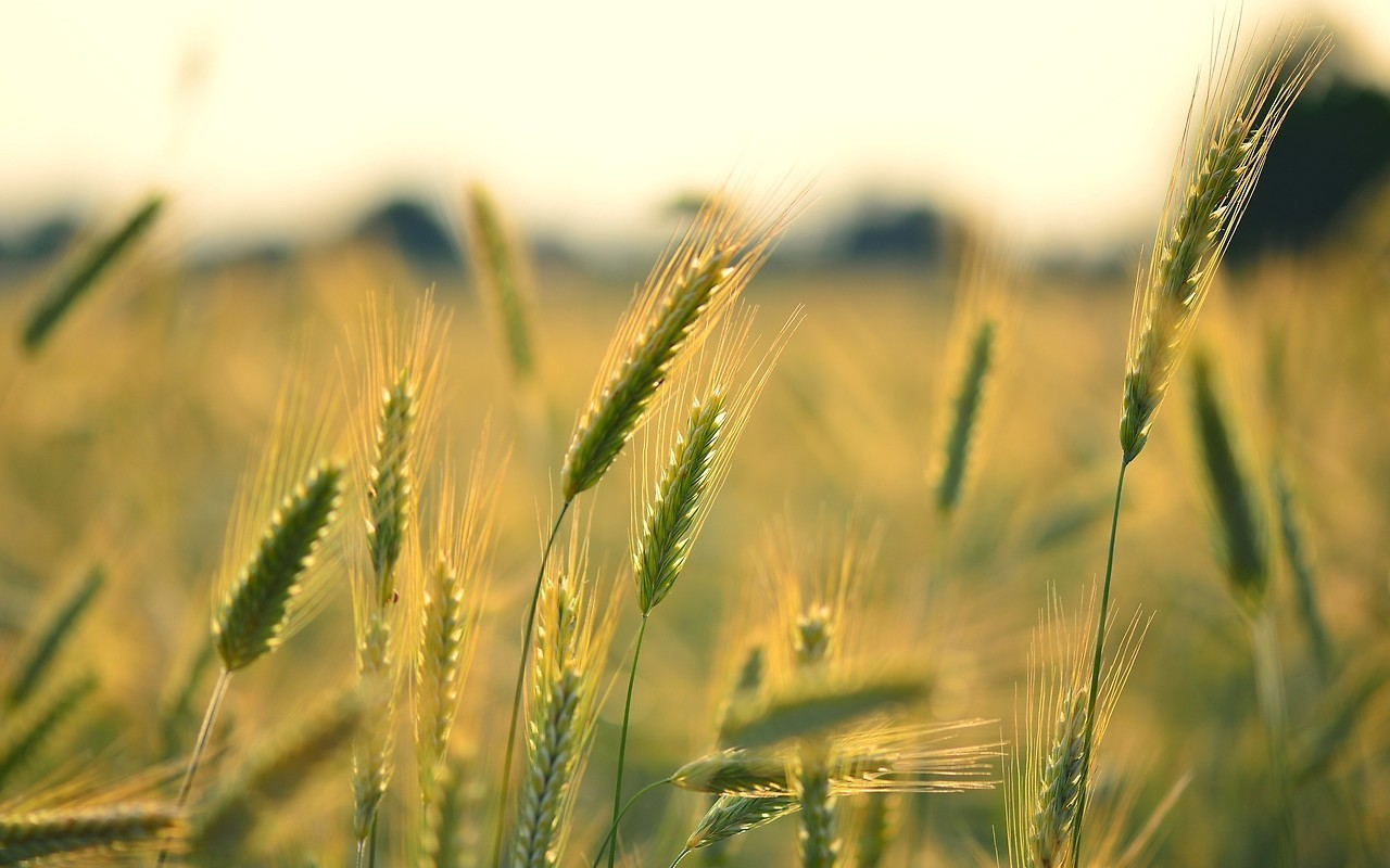 Corn Field Free Wallpaper download - Download Free Corn ...