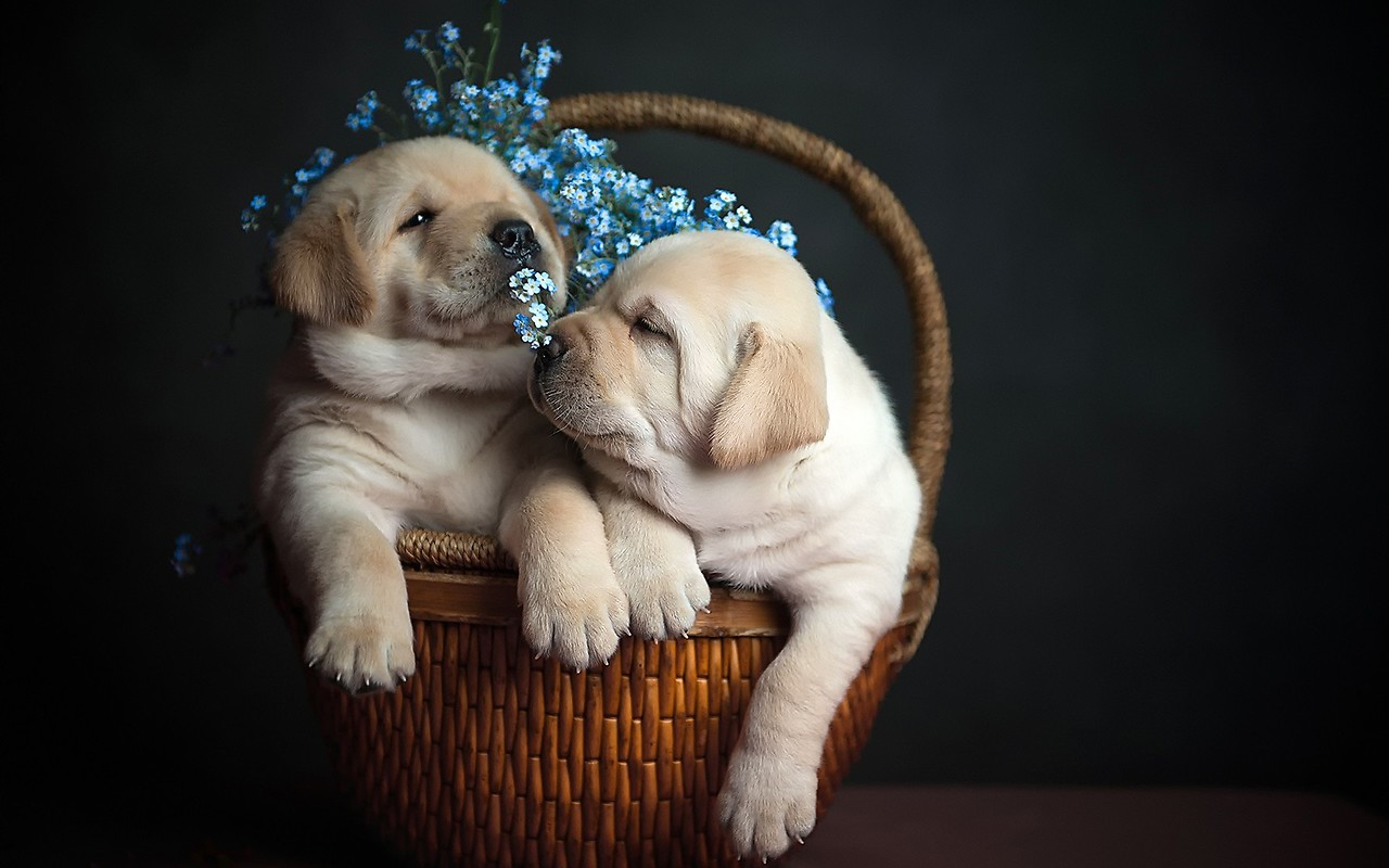 Cute Dogs In Basket Free Wallpaper Download Download Free Cute Dogs In Basket Hd Wallpapers To Your Mobile Phone Or Tablet