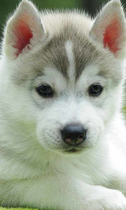 Cute Puppy Live Wallpaper Free Android Live Wallpaper ...