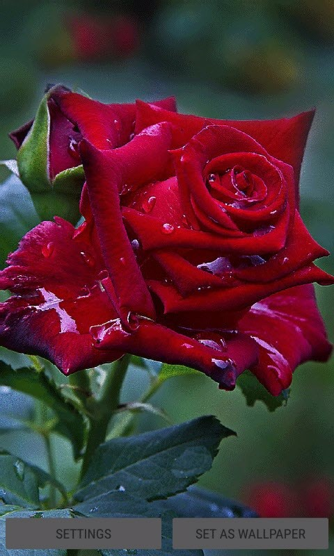 Red Rose Live Wallpaper Free Android Live Wallpaper Download