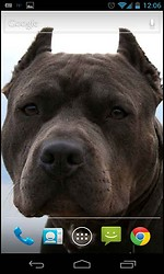 Blue Nose Pitbull Dog Live Wallpaper