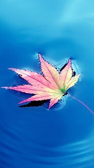 Autumn Maple Leaf In Water