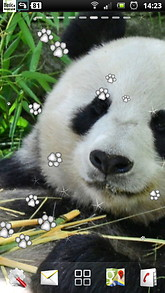 The Giant Panda Live Wallpaper