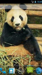 Panda Chewing Live Wallpaper