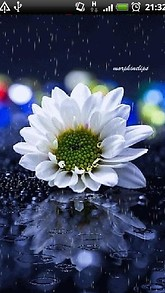 White Rain Daisy Live Wallpaper