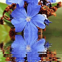 Blue Flower Reflection LWP