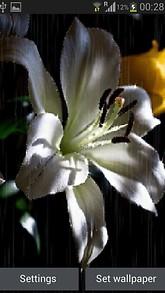 White Rainy Lily LWP