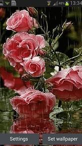 Roses In Rain Live Wallpaper