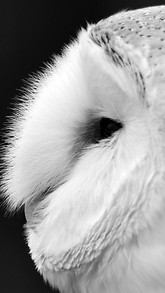 Barn Owl Black And White Live Wallpaper