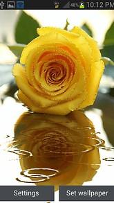 Yellow Rose Shine LWP
