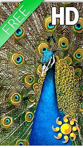 Bird Peacock Live Wallpaper